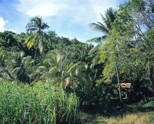 SUGAR CANE FIELD AND PALM TREES GUADELOUPE FRENCH WEST INDIES : Stock Photo