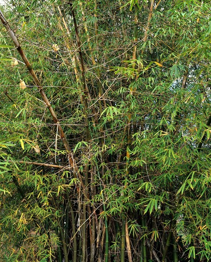 BAMBOOS GUADELOUPE FRENCH WEST INDIES : Stock Photo