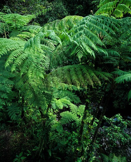 GIANT FERNS CARBET TROPICAL RAINFOREST IN LA SOUFRIERE VOLCANIC MOUNTAIN GUADELOUPE FRENCH WEST INDIES : Stock Photo