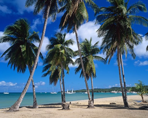 TROPICAL BEACH WITH PALM TREES GUADELOUPE FRENCH WEST INDIES : Stock Photo
