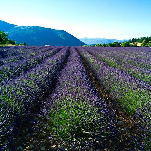Stock Photo: 4285-10957 blooming lavender field provence france