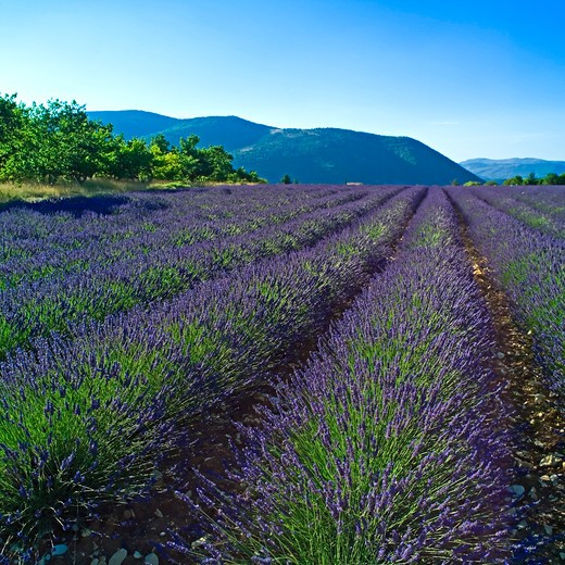 Stock Photo: 4285-10958 blooming lavender field provence france