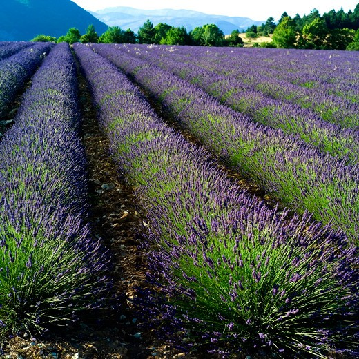 Stock Photo: 4285-10960 blooming lavender field provence france