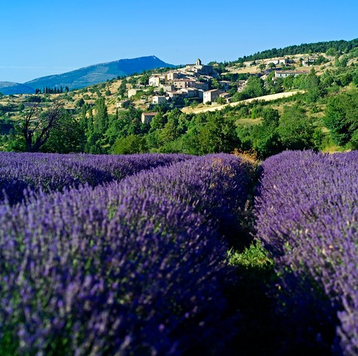 Stock Photo: 4285-10961 blooming lavender field and aurel village provence france