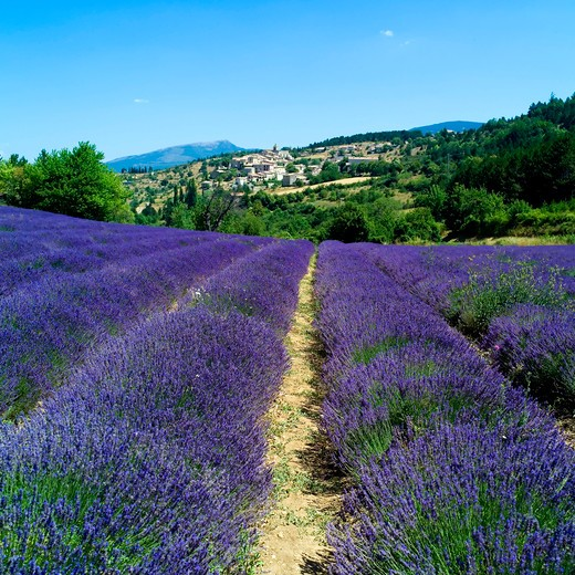 Stock Photo: 4285-10963 blooming lavender field and aurel village provence france