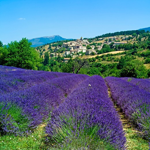 Stock Photo: 4285-10964 blooming lavender field and aurel village provence france