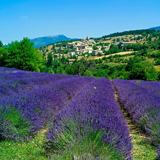 Stock Photo: 4285-10965 blooming lavender field and aurel village provence france