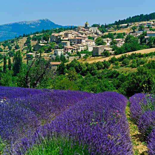 Stock Photo: 4285-10966 blooming lavender field and aurel village provence france