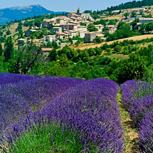 Stock Photo: 4285-10967 blooming lavender field and aurel village provence france