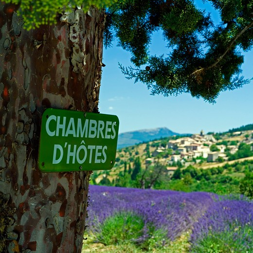 bed and breakfast sign in front of a blooming lavender field and aurel village provence france : Stock Photo