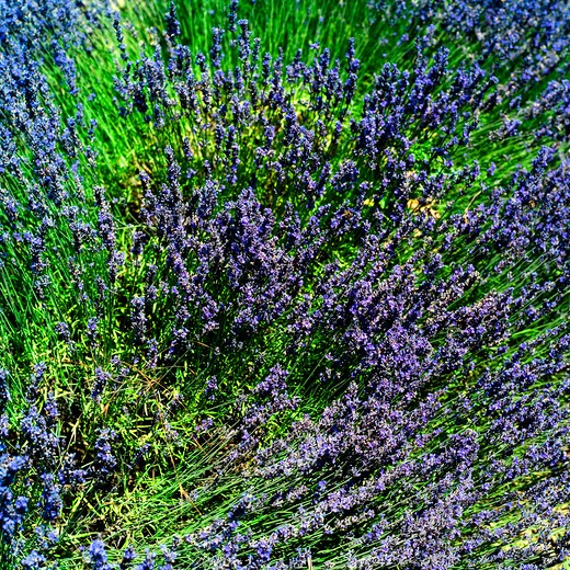 Stock Photo: 4285-10972 lavender in blossom provence france