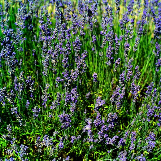Stock Photo: 4285-10975 lavender in blossom provence france
