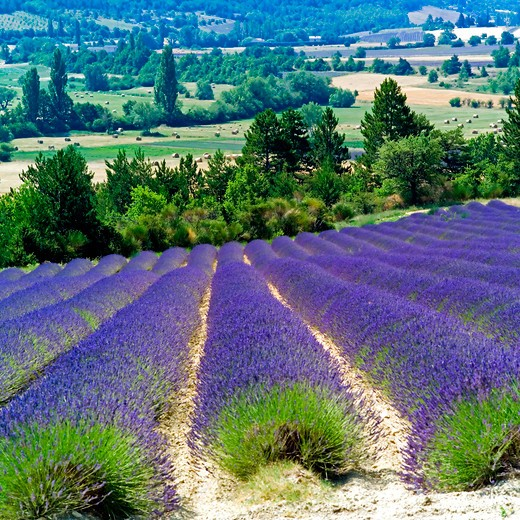 Stock Photo: 4285-11001 rows of blooming lavender provence france