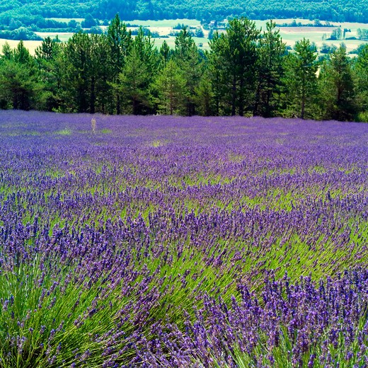 Stock Photo: 4285-11003 blooming lavender field provence france