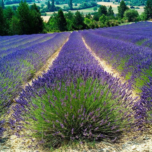 Stock Photo: 4285-11004 rows of blooming lavender provence france
