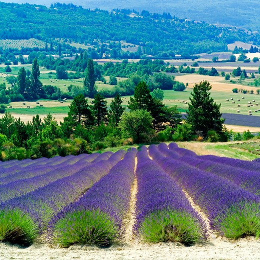 Stock Photo: 4285-11005 rows of blooming lavender provence france