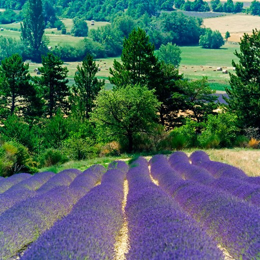 rows of blooming lavender provence france : Stock Photo