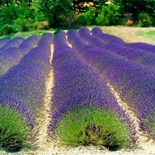Stock Photo: 4285-11007 rows of blooming lavender provence france