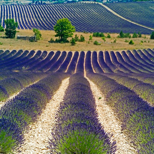 Stock Photo: 4285-11008 rows of blooming lavender provence france