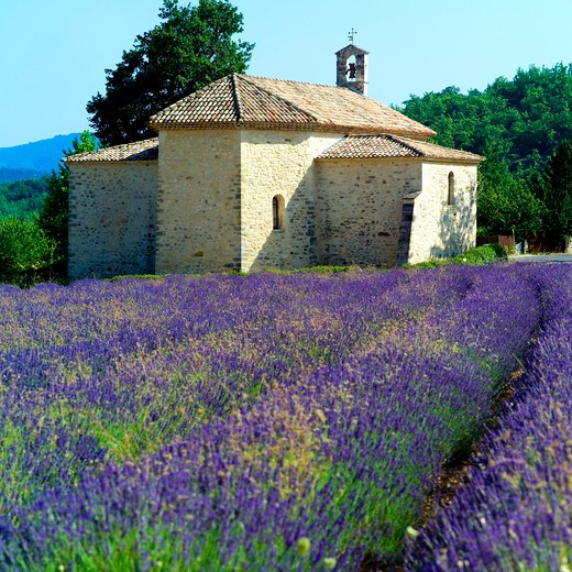 Stock Photo: 4285-11071 blossoming lavender field and saint-ferreol romanesque chapel 17th century provence france