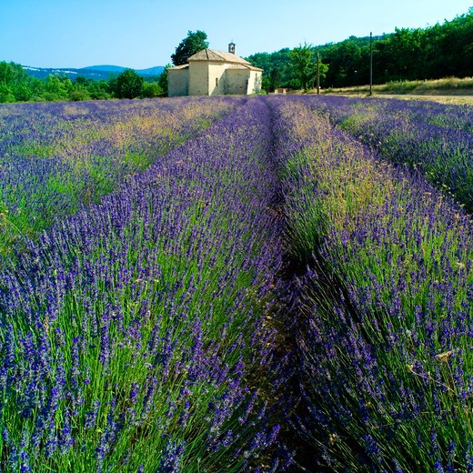 blossoming lavender field and saint-ferreol romanesque chapel 17th century provence france : Stock Photo