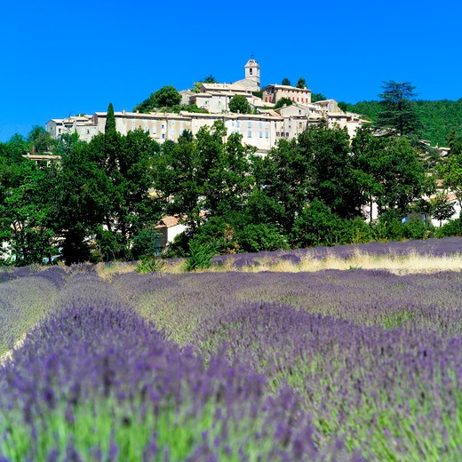Stock Photo: 4285-11074 blossoming lavender field and banon village haute-provence alps france