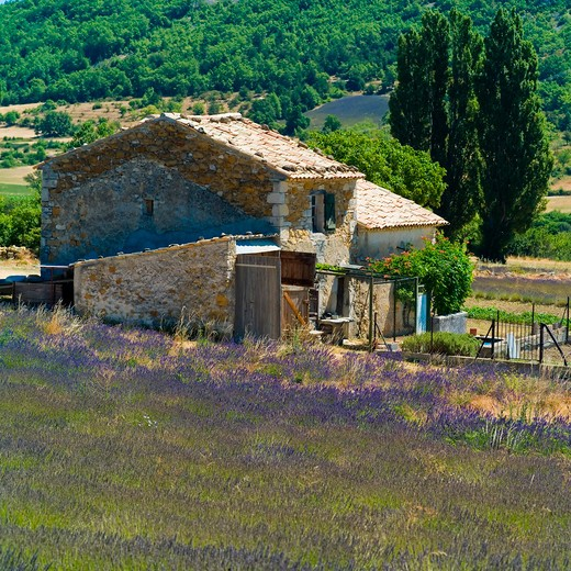 Stock Photo: 4285-11077 blossoming lavender field and house haute-provence alps france