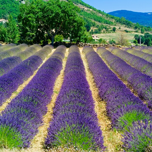 Stock Photo: 4285-11078 rows of blossoming lavender haute-provence alps france