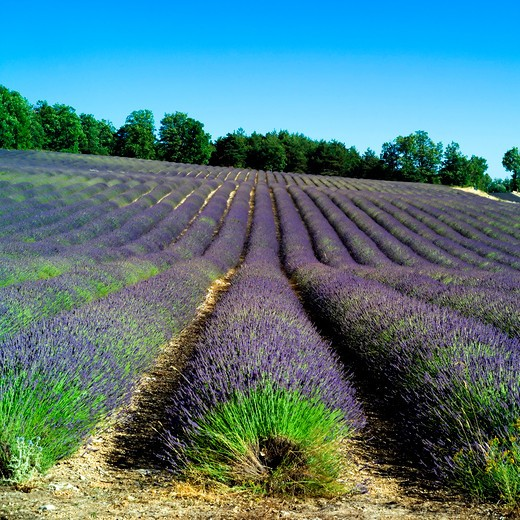 Stock Photo: 4285-11100 rows of blossoming lavender provence france