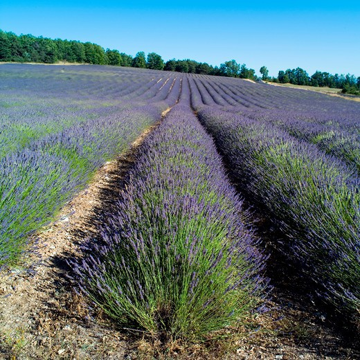 Stock Photo: 4285-11101 rows of blossoming lavender provence france