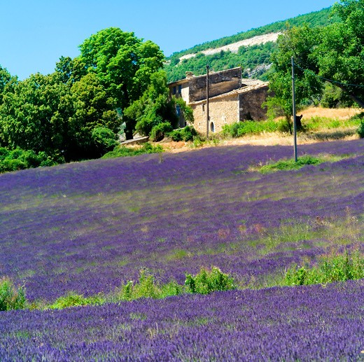 Stock Photo: 4285-11104 blossoming lavender field and rural house provence france