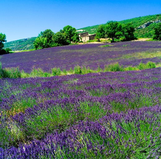 Stock Photo: 4285-11105 blossoming lavender field and rural house provence france