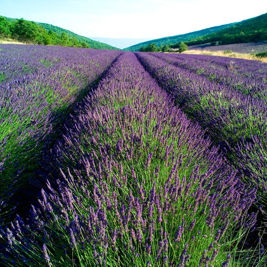 Stock Photo: 4285-11137 rows of blossoming lavender provence france