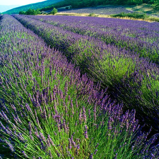 Stock Photo: 4285-11138 rows of blossoming lavender provence france