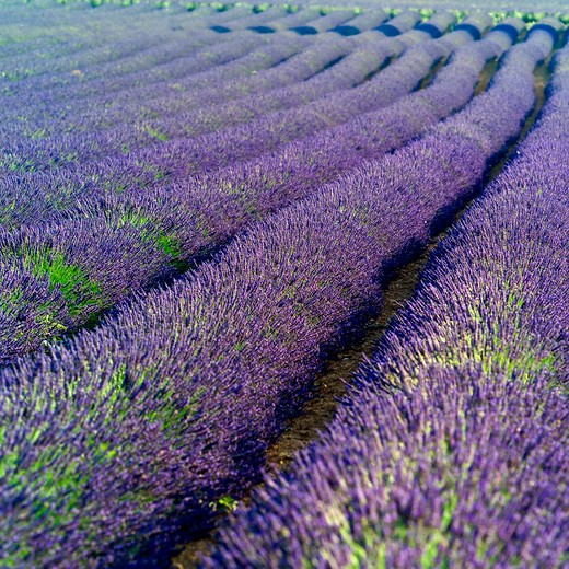 Stock Photo: 4285-11140 rows of blossoming lavender provence france