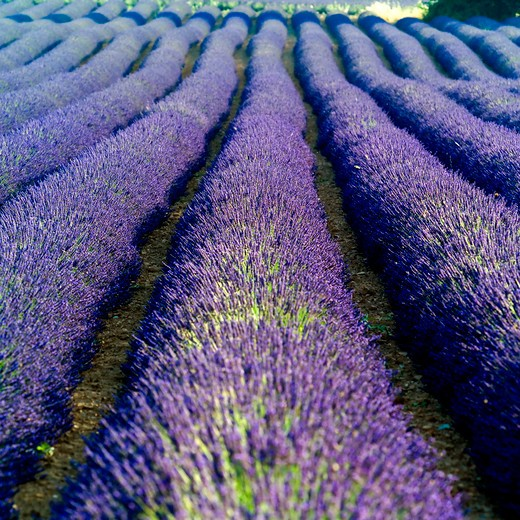 Stock Photo: 4285-11141 rows of blossoming lavender provence france