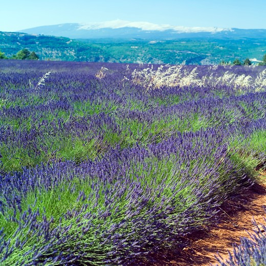 blossoming lavender and mont ventoux mountain provence france : Stock Photo