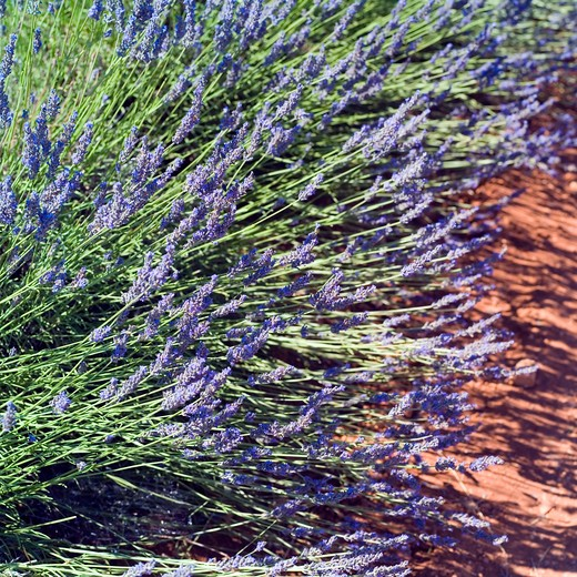 Stock Photo: 4285-11146 blossoming lavender provence france