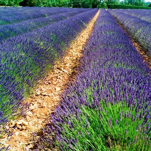 Stock Photo: 4285-11147 rows of blossoming lavender provence france