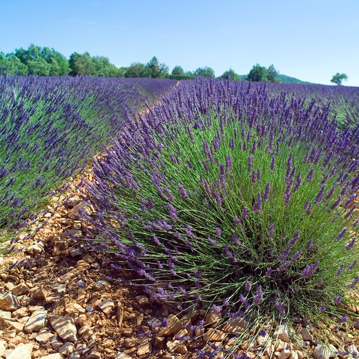 Stock Photo: 4285-11149 rows of blossoming lavender provence france