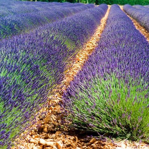rows of blossoming lavender provence france : Stock Photo