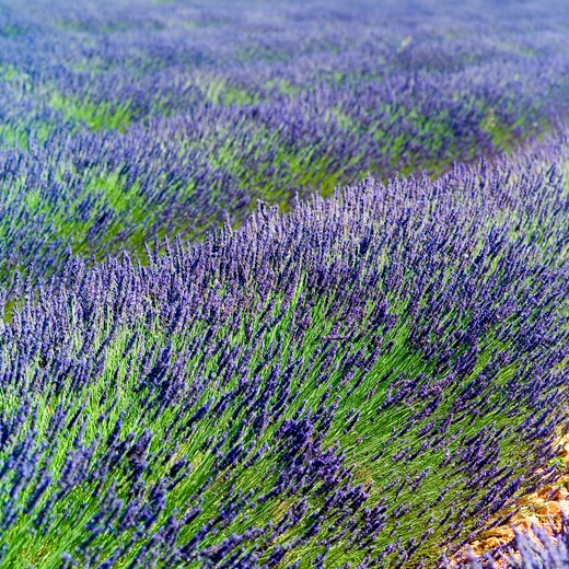 Stock Photo: 4285-11152 rows of blossoming lavender provence france