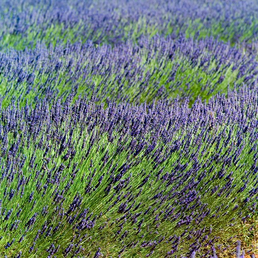 Stock Photo: 4285-11153 blossoming lavender provence france