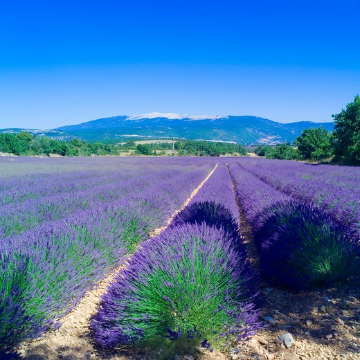Stock Photo: 4285-11159 rows of blossoming lavender and mont ventoux mountain provence france
