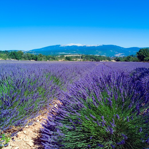 Stock Photo: 4285-11161 rows of blossoming lavender and mont ventoux mountain provence france