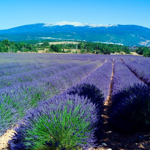 Stock Photo: 4285-11162 rows of blossoming lavender and mont ventoux mountain provence france