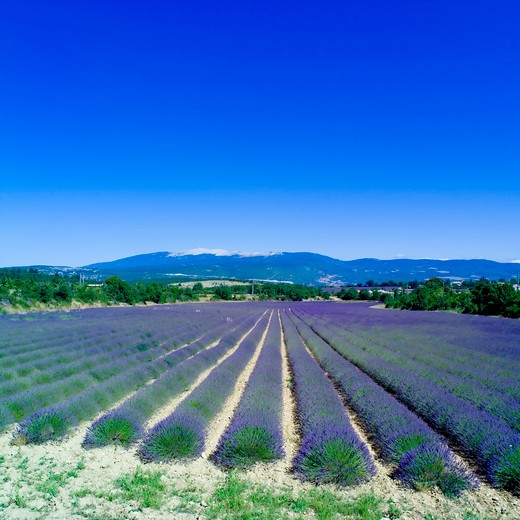 Stock Photo: 4285-11165 rows of blossoming lavender and mont ventoux mountain provence france