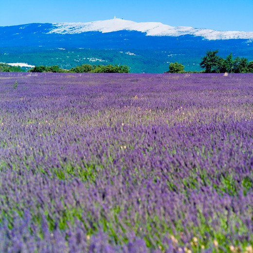 Stock Photo: 4285-11171 blossoming lavender and mont ventoux mountain provence france