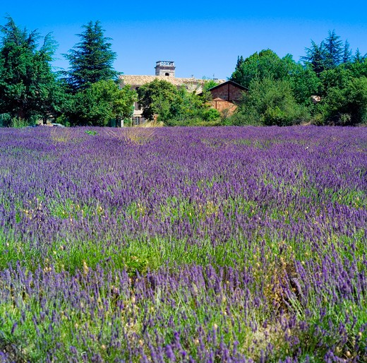 Stock Photo: 4285-11172 blossoming lavender and rural houses provence france
