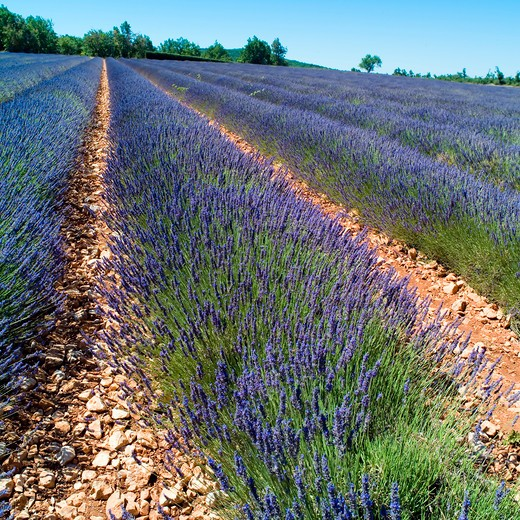 Stock Photo: 4285-11174 rows of blossoming lavender provence france